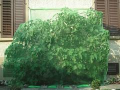 der eingepackte Feigenbaum