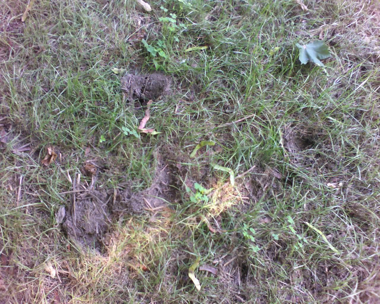 Possum Digging In Garden   Fasci Garden