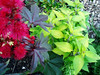 Ricinus and Salvia combo