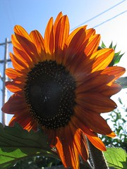 first red sunflower