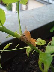 Rocco, insetto meraviglioso (c) Enrica Garzilli