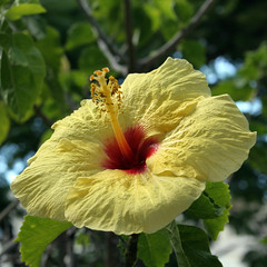 Yellow/Red Hibiscus