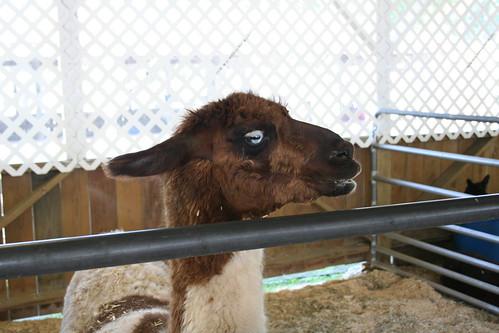 Attitude, indeed.  Llama.