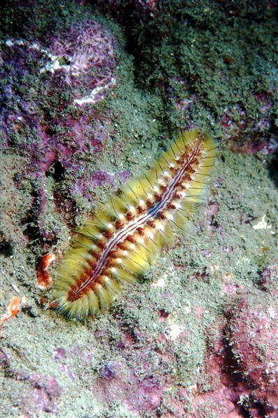 火刺蟲,fireworm