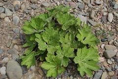 peltiphyllum on gravel