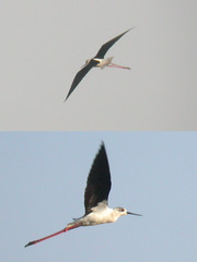 Black-winged Stilt, Castro Marim (Portugal), 28-Apr-06