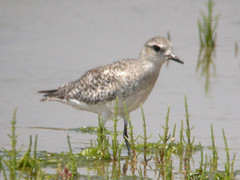 Grey Plover, Castro Marim (Portugal), 30-Apr-06