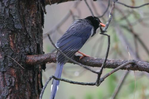 Yellow-billed blue magpie, Munsiyari, Uttaranchal, May 2006