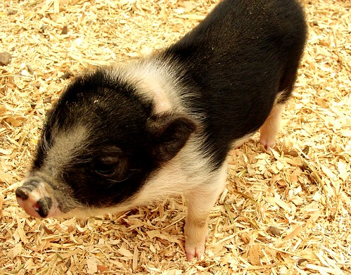 Piggy One