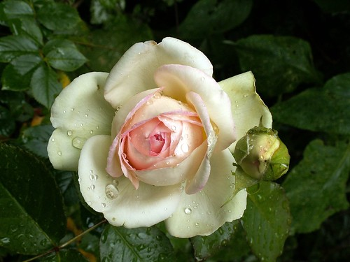 flowers and rain drops rose pierre de ronsard eden rose. Black Bedroom Furniture Sets. Home Design Ideas