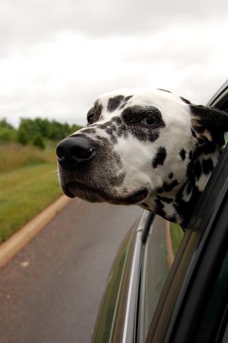 Schwarzenegger tegen honden in auto's