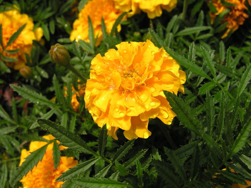 Marigold Gardens At The Entrance To Biltmore Estate Flickr