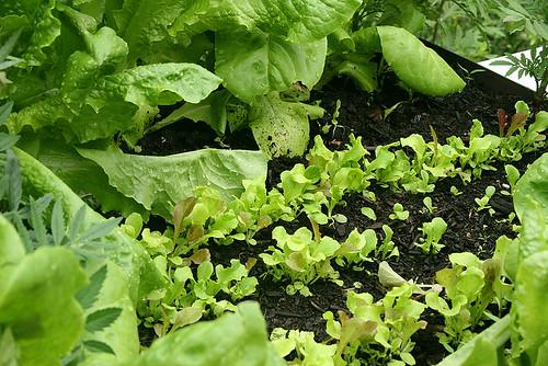successional lettuce - 2