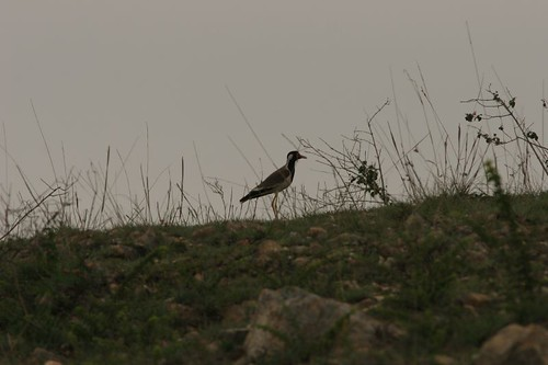 IMG_0125 red wattled lapwing