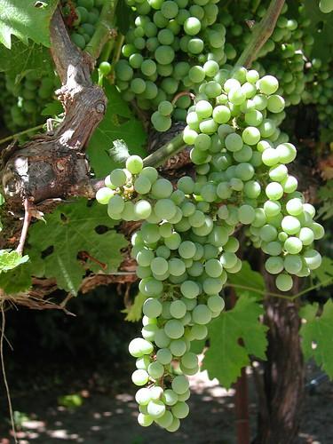 KJ Grapes