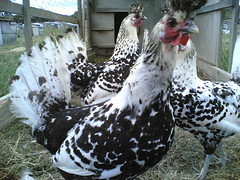 Silver Spangled Appenzellers