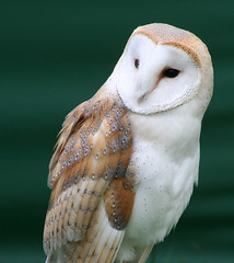 Barn Owl (Tyto Alba) photo by Stevie-B