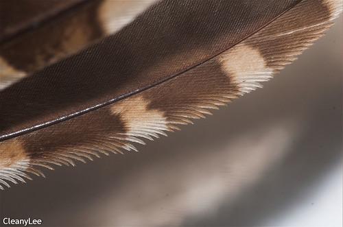 16381 領角鴞的飛羽前緣
