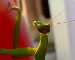 Mantis 6