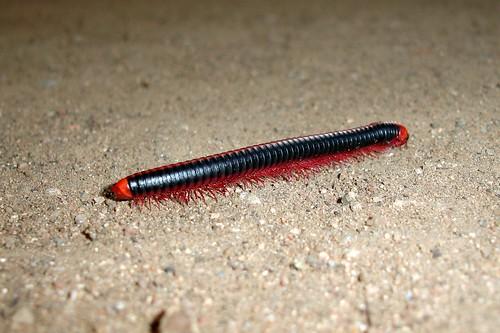 Centipedi
