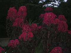 red fountain plants
