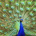 Peacock Dazzler