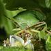 Hawthorne Shield Bug