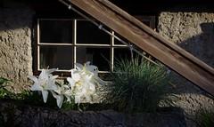 Lilien in der Fensterbank - Explore :-))