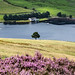 Dove Stones Reservoir and Heather