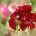 Hollyhock Time
