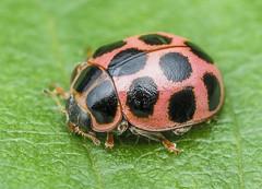 Cream-spotted Lady Beetle - Calvia quatuordecimguttata (Coccinellidae, Coccinellinae, Coccinellini) 119z-6300622