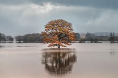 Oak of Carrington