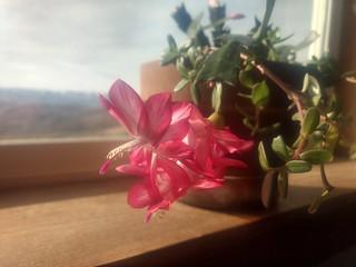 Christmas cactus.