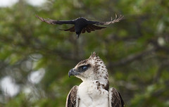 Martial Eagle & Fork-tailed Drongo