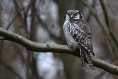 Northern Hawk Owl (Høgeugle), Hessede Skov (Explored)