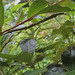 Green Stick Insect (Candovia strumosa) on Three-veined Cryptocarya (Cryptocarya triplinervis)