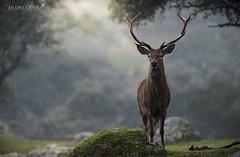 Ciervo común/ Red deer (Cervus elaphus)