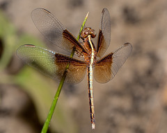 A Pied Parasol dragonfly