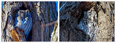 Petit-duc maculé - Eastern Screech-Owl - Megascops asio