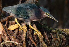 Green Heron on the prowl