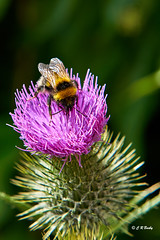 Bumble-bee on a thistle.