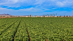 Lettuce Ready To Harvest