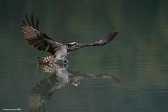 Osprey (Pandion haliaetus) @ 新北市新店灣潭, Taiwan_20200110_5649