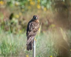 Sweetwater Wetlands Northern Harrier 11-18-2019
