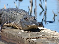 Gator relaxing