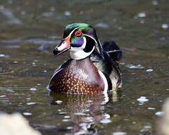 _DSC1691.jpg=040419  Wood Duck
