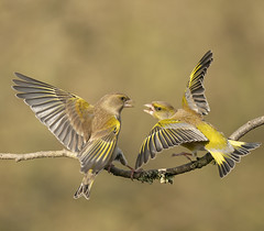 Finally got a couple of Green Finches coming to my feeders.