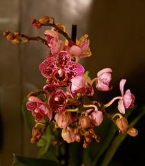 _73A7100 Orchid Survivor in Bloom