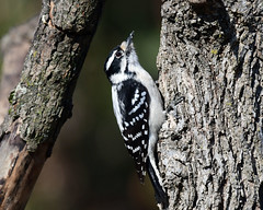 850_3201.jpg=022320 Downy Woodpecker(Explored 2-27-2020