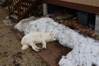 Enjoying the last bit of snow in the yard